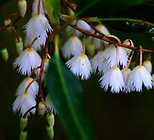 Elaeocarpus reticulatus  by andrachne