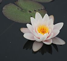 Peaceful Waterlily by CreativeEm