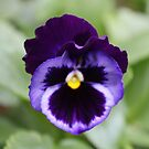 Pansy by BlackSunshine