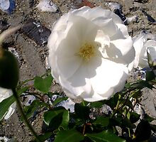 White Rose on Wall by Shoshonan