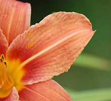 Day Lily by Fiona Gardner