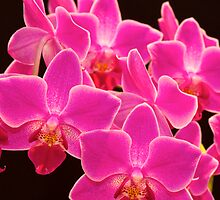 Pink Orchid by Mihaela Limberea