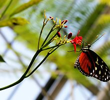 Butterfly sipping from red flower by tdash