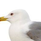 portrait of a seagull by monica palermo