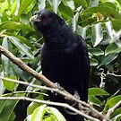 Koel 1 by Paul Todd