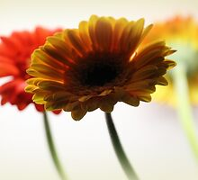 Trio of Gerberas by karina5