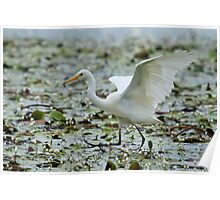 Egret with a snack Poster