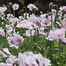 poppies by gaylene