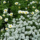 Daisies and Alyssum by joycee