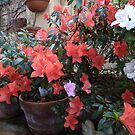 A Pot of Red Azalea by joycee