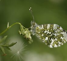 Female orange tip butterfly. by Anthony Lee