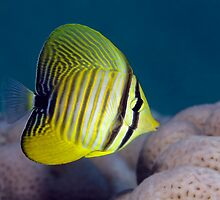 Yellow Sailfin by Norbert Probst