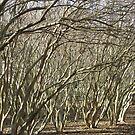 Crepe Myrtle Forest - Wintertime by AJ Belongia