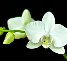 White Orchid by Mihaela Limberea