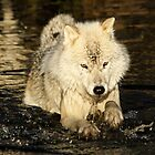 Arctic wolf doing the doggy paddle by Heather King