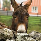 Donkey, Doolin, County Clare, Ireland, October 2011 by Jamie Kirschner