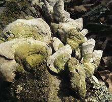 Green Shelf Fungus on a Log by Deb Fedeler