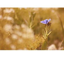 Male Common Blue Butterfly (Polyommatus icarus) Photographic Print