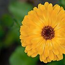 Calendula Officinalis by Gert Lavsen