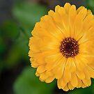 Calendula Officinalis by Gert Lavsen