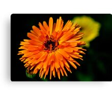 Calendula Officinalis Canvas Print