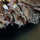 Long-fingered bats (Myotis capaccinii) by Vasil Popov