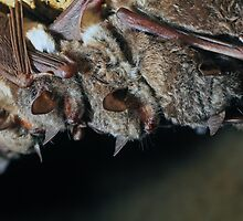Long-fingered bats (Myotis capaccinii) by Vasil Popov