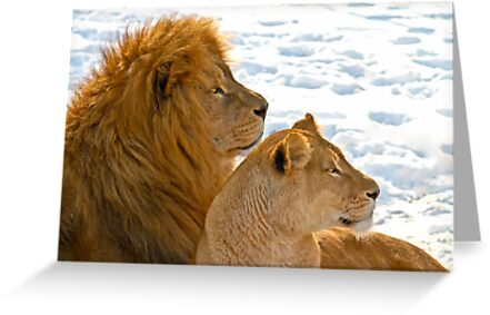 Lions in the Snow by Gert Lavsen