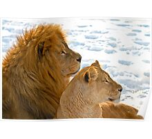 Lions in the Snow Poster