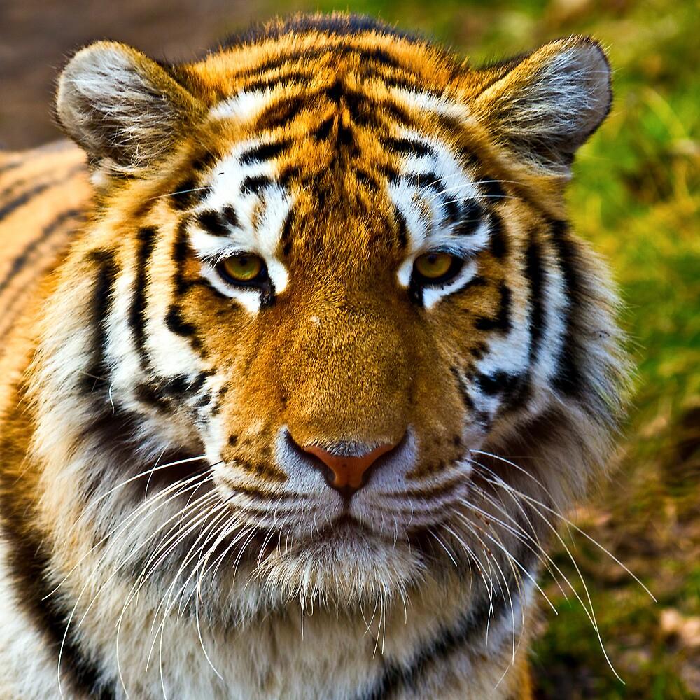 Tiger by Gert Lavsen