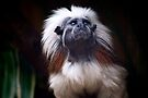 Cotton-top Tamarin by Renee Hubbard Fine Art Photography