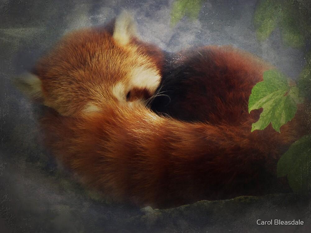 Red Panda by Carol Bleasdale