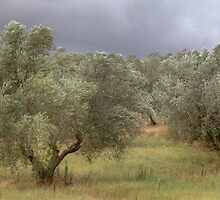 Olive trees in the wind by catiapancani