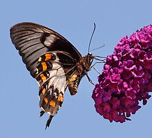 Orchard Butterfly by pcbermagui