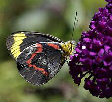Jezabel Butterfly on Budlia by pcbermagui