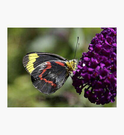 Jezabel Butterfly on Budlia Photographic Print