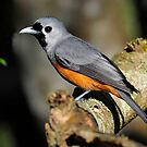 Black-faced Monarch taken at Malanda by Alwyn Simple