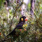 Yellow-tailed Black Cockatoo by Erland Howden
