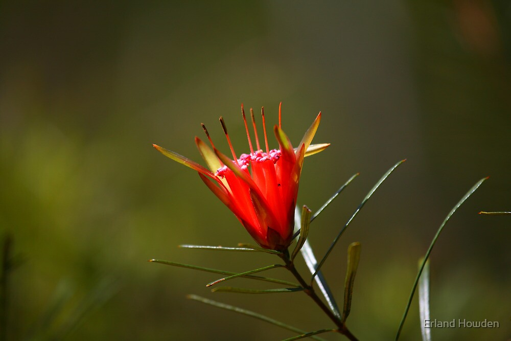 Red Mountain Devil Flower by Erland Howden