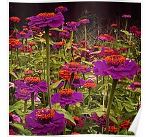 Surreal Zinnias Poster