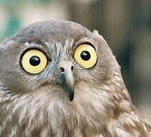 Boobook Owl Australia by KoosG