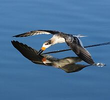 Immature Black Skimmer Skimming For Fish by Kathy Baccari