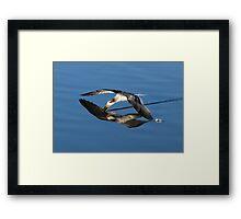 Immature Black Skimmer Skimming For Fish Framed Print