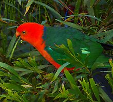 Australian King Parrot by Sharon Brown