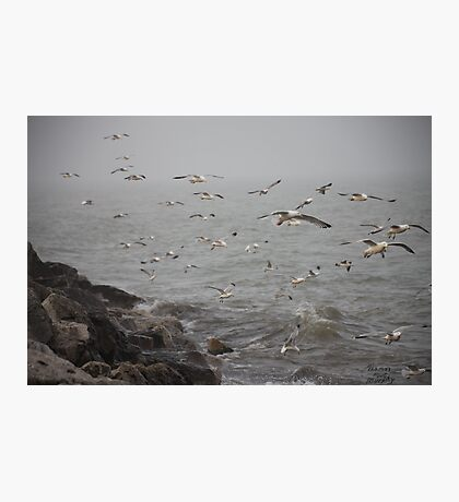 A flock of Seagulls feeding Photographic Print
