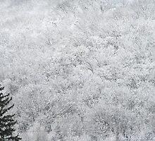 White Trees in Northern Muskoka by Carolyn  Reinhart