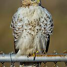 Hawk on fence by Daniel  Parent
