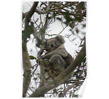 Koala Cape Otway Poster