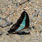 Butterfly drinking by STHogan