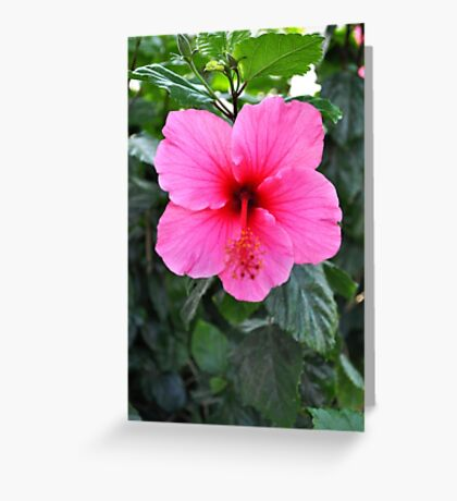 PINK HIBISCUS WITH RED THROAT AND RED STYBUS Greeting Card